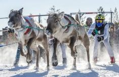 Reindeer races are organised almost every year in Pello in Finnish Lapland. This photo is taken in the Lankojärvi Reindeer … Finland Culture, Lapland Finland, Arctic Circle, Cross Country Skiing, Crazy People, Winter Activities, Reindeer, Camel, Racing