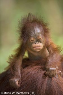 The only two surviving orangutan species are found in the rainforest of Borneo and Sumatra. Both are endangered. #habitatdestruction