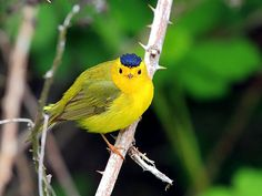 Wilson's warbler: A common warbler of willow thickets in the West USA and across Canada    (photo by tony y.h. tong)