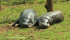 Pygmy Hippopotomus's