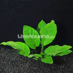Anubias nana is a hardy plant that is an aquarium favorite among many hobbyists. This rosette plant may reach up to 6 inches in length and has beautiful dark green leaves in low, handsome clumps. They usually have diagonal lines running from the center vein to the leaf perimeter.