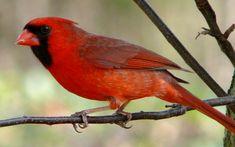 List of birds of Illinois - Wikipedia, the free encyclopedia