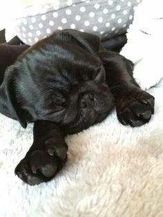 Nala <3 she is the cutest little pug