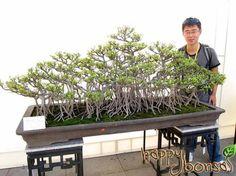 The Guangzhou International Bonsai Invitation Exhibition in November was the largest bonsai show in Guangzhou ever. In this bonsai show, 800 penjing were Bonsai Plants, Bonsai Garden, Bougainvillea Bonsai, Bonsai Ficus, House Plants Decor, Plant Decor, Acer Palmatum, Terrariums, Pine Tree Art