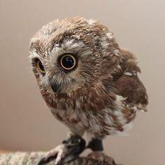 | Owl |