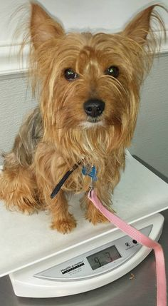 ~ Daily Dose of Cuteness ~  Here's my 4yo Lex. Sweet and affectionate. (Shared by Jackie Buys) #DogoftheDay http://aboutmorkies.com/ Follow us: Facebook.com/YorkiesMorkiesMaltese Twitter.com/morkienation #dog #doglovers #animals #pets #yorkies #yorkie #yorkielovers #petlovers #dogowners #puppy #adorablepets #sillydogs #smallanimals #instadogs #instayorkie #instapuppy #instaanimals #petsofinstagram #dogsofinstagram #yorkieofinstagram #puppylove #animallovers #ilovemypet #ilovemyyorkie #igdogs