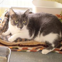 BeBe, a gray and white Domestic Short Hair DSH & Tuxedo mix girl in Washougal, Washington looking for a home.  Email adoptions@wcghs.org for more information.