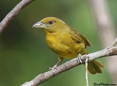 Female Tooth-billed Tanager (Piranga lutea) photographed by Tom Friedel at ProAves Tangaras Reserve El Carmen de Atrato, Colombia on 17th November 2014