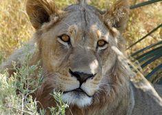 Sky Photos, Photo Competition, Photo Contest, Predator, Wilderness, Safari, Lion, Wildlife, African