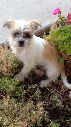 Chihuahua Shih Tzu Hybrid Dogs I Dont Like Small Dogs But This