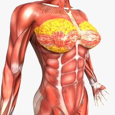 Female Muscular System Human Anatomy - Muscle System - Female Stock Illustration - Anatomy Of Diagram Body Organs Diagram, Human Body Diagram, Human Anatomy Female, Picture Of Body, Human Body Organs, Anatomy Images, Female Reproductive System, Anatomy Models, Body Anatomy