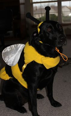 funny dog photo happy halloween people think this is funny dog does not - Halloween Costumes For Labradors