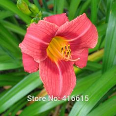 Day Lily Daylily Seeds Hemerocallis Rosy Returns - Reblooming Seeds Hemerocallis Fulva Day-lily Flower Seeds Ground Cover Plants