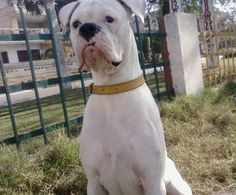 Boxer Dogs Summary: Sturdy, strong and robust physical features with high spirits. We are talking of boxer dogs. Funny Boxer, Funny Dogs, White Boxer Puppies, Short Haired Dogs, Cesar Millan, Boxer Love, Companion Dog, Dog Fighting, Dog Photos