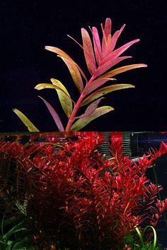 Endless list of favorite aquatic plants: 26/*→ Rotala sp. 'Colorata'(photos © by flowgrow.de)