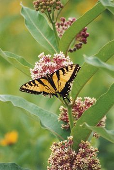 """Visit our native garden, and see our daily visitors. Photo provided by """"Swamp milkweed in the National Museum of the American Indian Native Landscape garden. Photo © Hayes P. Native American Artists, American Indians, Swamp Milkweed, Trees For Front Yard, Butterfly Plants, National Museum, Beautiful Butterflies, Native Plants, Beautiful World"""