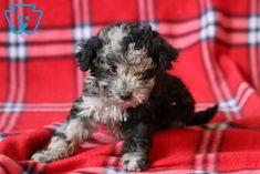 This beautiful pup is a Toy Poodle ready to meet his new best pal. He is a lovable pup who will surely load you with all of his puppy kisses. Poodle Puppies For Sale, Black Lab Puppies, Corgi Puppies, Cute Puppies For Sale, Cute Baby Puppies, Equine Photography, Animal Photography, Black Labrador, Black Labs