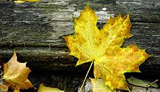 Autumn Leaf - Windows Wallpaper