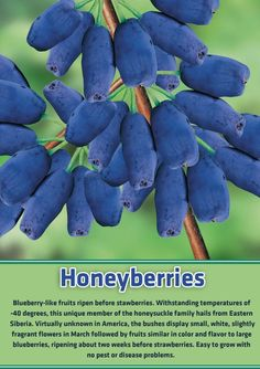 Honeyberries.  Similar to blueberries, but don't need the acidic soil to grow in like blueberries!