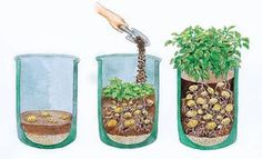 Potato cultivation on balcony and terrace Kartoffelanbau auf Balkon und Terrasse Grow Potatoes In Container, Planting Potatoes, Growing Plants, Growing Vegetables, Growing Onions, Potatoes Growing, Potato Companion Plants, Plant Bags, How To Store Potatoes