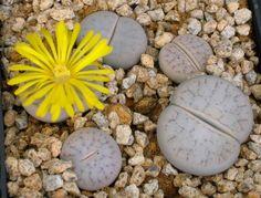 Lithops pseudotruncatella ssp.volkii C69