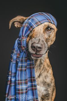 "The Tartan Pirate sends a ""Tha mi duilich"" from Germany to Scotland by Elke Vogelsang Animals And Pets, Funny Animals, Cute Animals, Rat Dog, Dog Cat, Yorkies, Funny Dogs, Cute Dogs, Amor Animal"