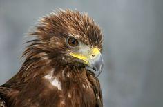 Ein seltener Gast ist jüngst am Horizont überm Nationalpark Schwarzwald aufgetaucht: Vermutlich aus den Alpen hat sich ein junger Steinadler zum Erkundungsflug aufgemacht. Im Nationalpark hofft man nun, dass der Greifvogel hier eines Tages wieder heimisch wird.
