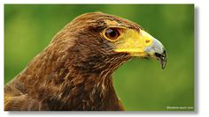 Riegersburg Bald Eagle, Animals, Pictures, Animales, Animaux, Animal, Animais