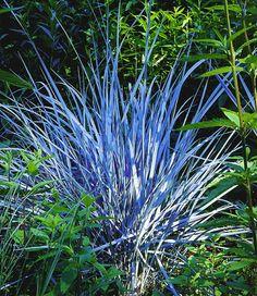 #Ziergras #Elijah Blue  Mit seinen stahlblauen Halmen ist dieses Ziergras zu jeder Jahreszeit ein Blickfang und setzt extravagante Kontraste in Ihrem Staudenbeet! Absolut anspruchslos und bildet schöne Horste. | Bei der Wahl des Standortes sollte ein sonniger Platz bevorzugt werden.  Auch im Halbschatten gedeihen die Pflanzen noch. Der Boden sollte humos, feucht und  durchlässig sein. Auch wenn Ziergräser dort am allerbesten wachsen, gedeihen sie praktisch  überall.