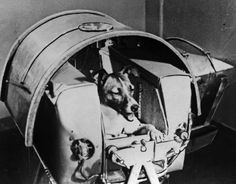 3 November 1957 - Laika, a Siberian husky, is launched into Earth's orbit on a one-way trip aboard the Soviet Sputnik II. Sadly, initial reports that Laika had passed away painlessly after a few days were exposed to be false 40 years later. In fact Laika died due to extreme stress and heat only a few hours after launch. However, this was not before showing that it was possible to survive weightlessness and orbit. #HistSci  © Fine Art Images/Heritage Images/Getty Images