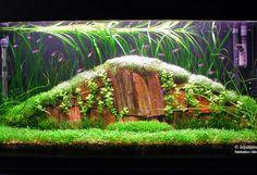 Tank 35 gall  36X12X18Light 4X30W Fluval 2042XCO2 nutrafinSpecial project for an amano style tank  A great challengeGlossostigma riccia fluitans vallisneria spiralis Lysicmachia aurea lileaopsis novaezelandiae Crinum calamistratumNeon tetra amano shrimp