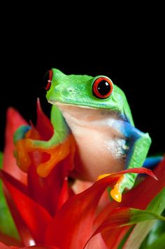 Red-eyed tree frog on a red flower.