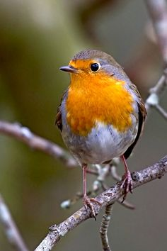We always had a Robin in our garden, and I named my middle son Robin because when he was a baby sleeping in his pram in the garden, a Robin would come and sit on the prams handle.   R McN