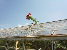 rosegreenhouse1
