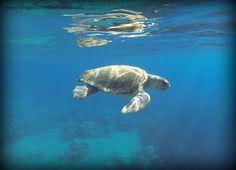 La tortuga marina (Caretta caretta) que nadaba junto al Mediterráneo y su equipo en la tarde del 24 de julio de 2014, frente a la isla de Polyaigos (Cícladas).  Fotos y video de Giuliana Rogano.