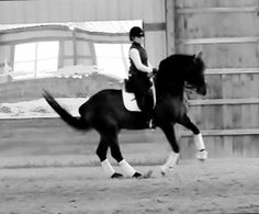 Stud: Landsong- Intermediare 1, Oldenburg Stallion