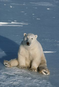 'Polar Bear sitting on Haunches' from Heather Angel/Natural Visions... maybe not so cuddly!