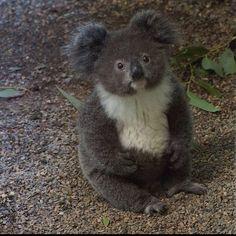"Adorable""Archer"" the Koala Joey at Featherdale Wildlife Park in Sydney. Photo by… Adorable""Archer"" the Koala Joey at Featherdale Wildlife Park in Sydney. Photo by Lars. The Animals, Cute Little Animals, Cute Funny Animals, Wild Animals, Niedlicher Panda, Baby Panda Bears, Polar Bears, Australian Animals, Tier Fotos"