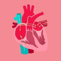Thought Café — A couple GIFs from Crash Course Anatomy &. Medicine Notes, Medicine Student, Heart Anatomy, Anatomy Art, Medical Design, Medical Art, Human Heart Diagram, Medical Anatomy, Med Student