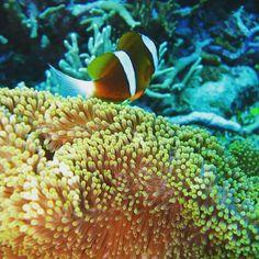 Found Nemo @ the Great Barrier Reef  #australia #anotherworld #scuba #dive #duiken #padi #downunder #oz #divespot #nemo #anemone #clownfish #greatbarrierreef #reizen #travel #myworldisyours by myworldisyours.nl http://ift.tt/1UokkV2