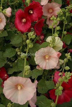 « Pink and Red Hollyhocks  » par Stephen Thomas