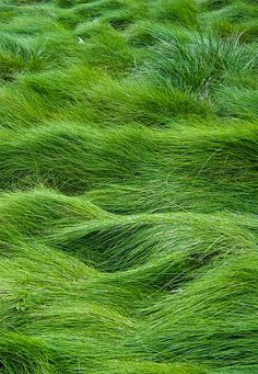 I love this fescue grass in certain areas instead of ordinary lawn. It never has to be mowed, and looks like a meadow of 'rolling sea' green. Requires regular watering, however.<<NO MOWING GUYS