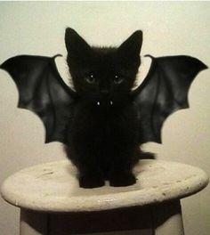 Vampire Bat Kitteh! So freaking adorable! !