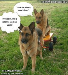 Don't say it #gsd #dog #humor
