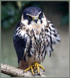 The hobby (juvenile) falco subbuteo by hawkgenes