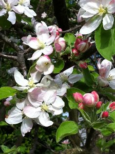 Apple blossoms 2011