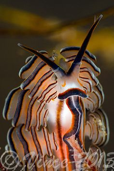 LIFE UNDER THE WAVES — Doto sp- by Vincent Chalias on Flickr.