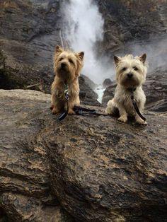 Cairn terriers...