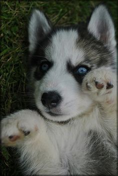 Meet Timber A Petfinder Adoptable Siberian Husky Dog West Olive