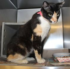 CALI (A23362154) Sweet Cali is a beautiful tortie girl. Brought in as a stray to the shelter. She's only 1-2 yrs old & has apparently been a momma recently. She's very gentle and enjoys pets and being visited by the volunteers. She is only 8 lbs. She just wants a safe place to call home and someone to love. located at Philadelphia's animal control shelter. needs immediate adoption/rescue/foster care. 111 W Hunting Park Ave, call 267-385-3800, or email lifesaving@acctphilly.org.